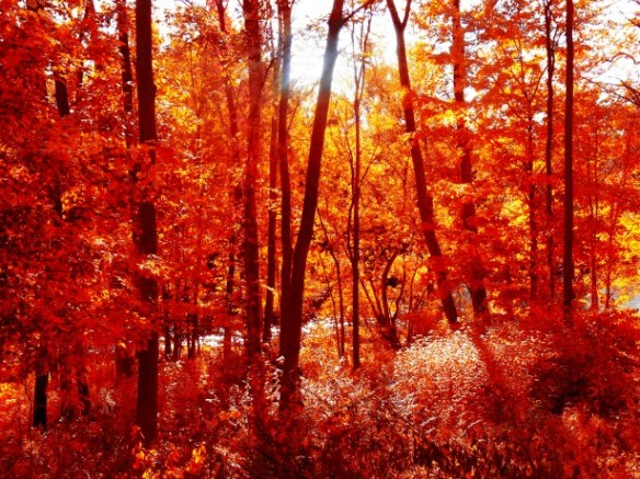 photo of forest with tall trees, sun peeking through, and red autumn leaves